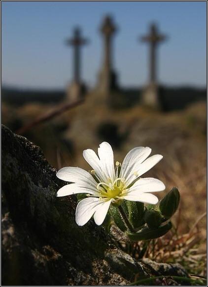 Rožec kuřičkolistý (Cerastium alsinifolium). Foto: Přemysl Tájek, www.citadella.cz