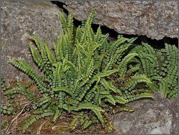 Sleziník nepravý (Asplenium adulterinum). Foto: Přemysl Tájek, www.citadella.cz
