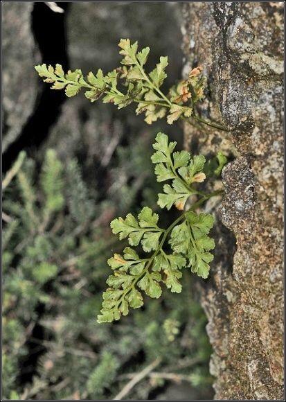 Sleziník hadcový (Asplenium cuneifolium). Foto: Přemysl Tájek, www.citadella.cz