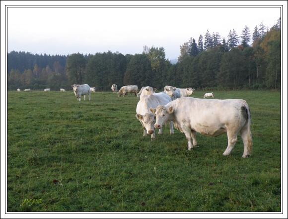 Pastviny jsou charakteristikou krajiny Ašského výběžku