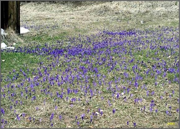 Šafránová zahrada na Tisoveckej Voniacej