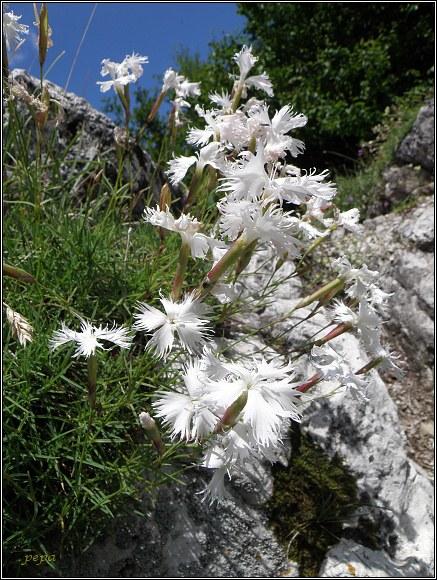 Šípska Fatra. Hvozdík pyšný pravý / klinček pyšný pravý / Dianthus superbus