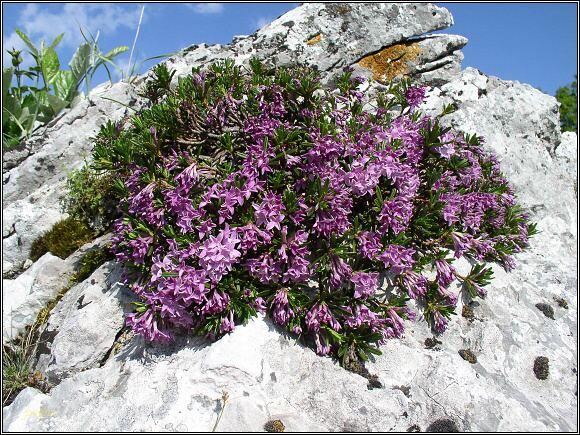 Muránska planina. Lýkovec slovenský (lýkovec muránsky - Daphne arbuscula)