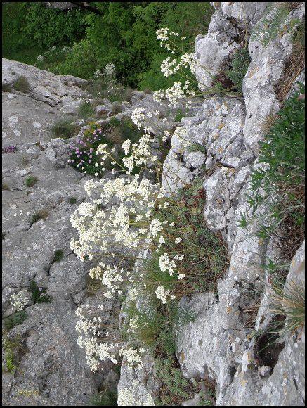 Vršatské hradné bralo. Trsy lomikámenu a hvězdice na skalních stěnách