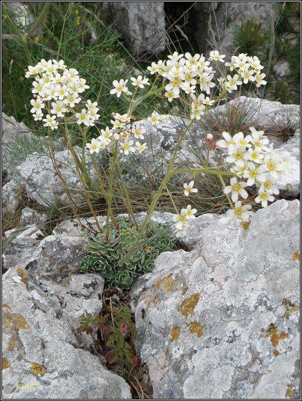 Vršatské hradné bralo. Lomikámen vždyživý / lomikameň metlinatý / Saxifraga paniculata