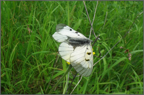 Jasoň dymnivkový / jasoň chochlačkový / Parnassius mnemosyne