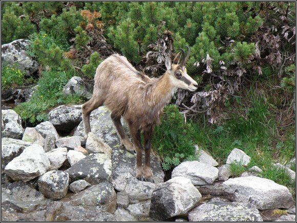 Vysoké Tatry. Kamzík horský tatranský (Rupicapra rupicapra tatrica) v Červenej dolině