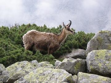 Vysoké Tatry. Kamzík horský tatranský