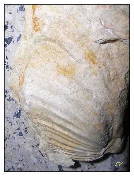 Mytilus z Malého Chlumu. Skutečná velikost asi 5cm