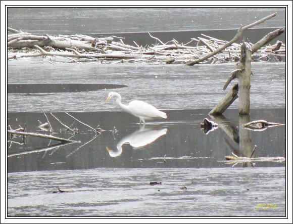 CHKO Dunajské luhy. Žabie jazero. Volavka bílá