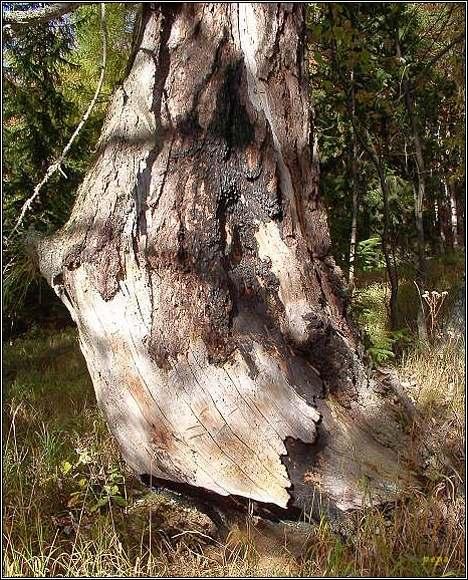 Opálený strom na Tisoveckej Voniacej