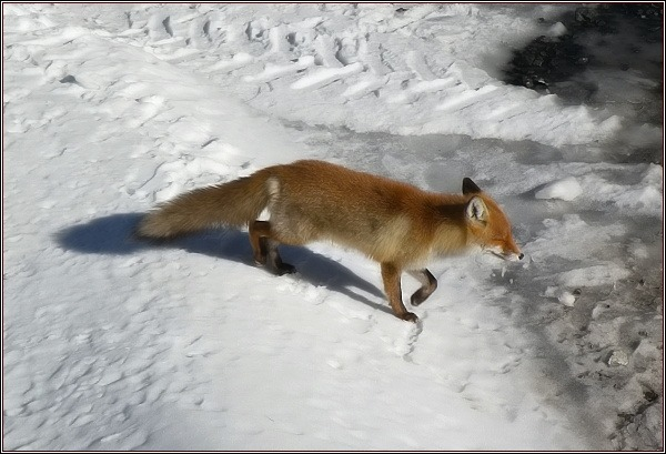 Liška obecná tatranská (Vulpes vulpes tatrica). Vysoké Tatry, horský hotel Slezský dům, 16. 3. 2012