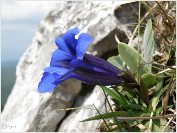 Horec Clusiov - Hořec Clusiův (Gentiana clusii)