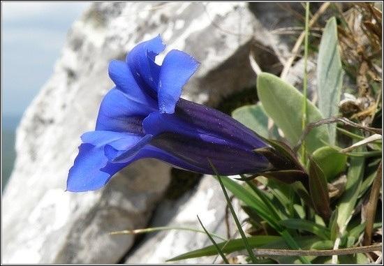 Horské květiny