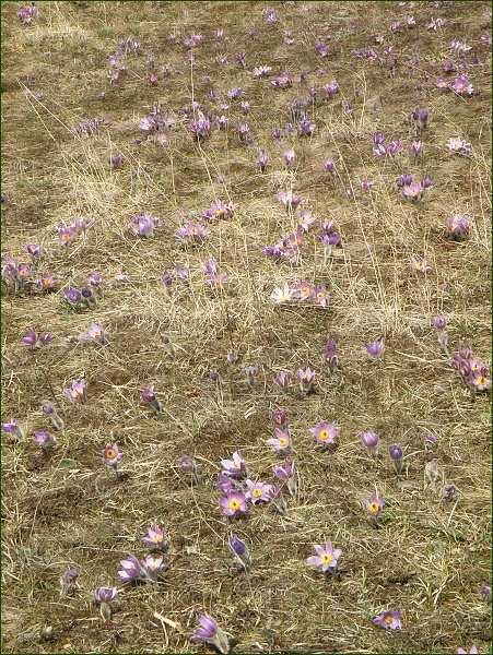 Přírodní rezervace Kamenný vrch. Kolonie koniklece velkokvětého
