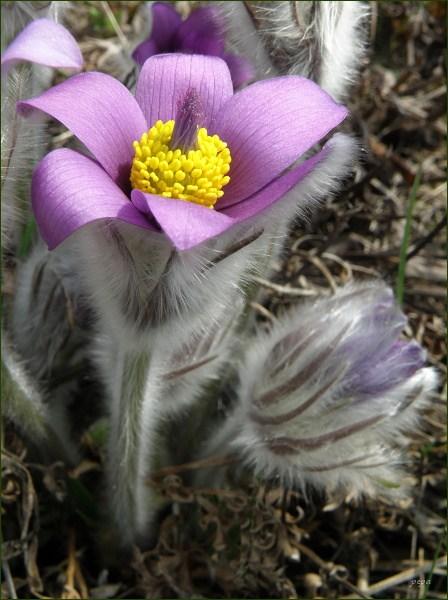 Přírodní rezervace Kamenný vrch. Koniklec velkokvětý (Pulsatilla grandis)