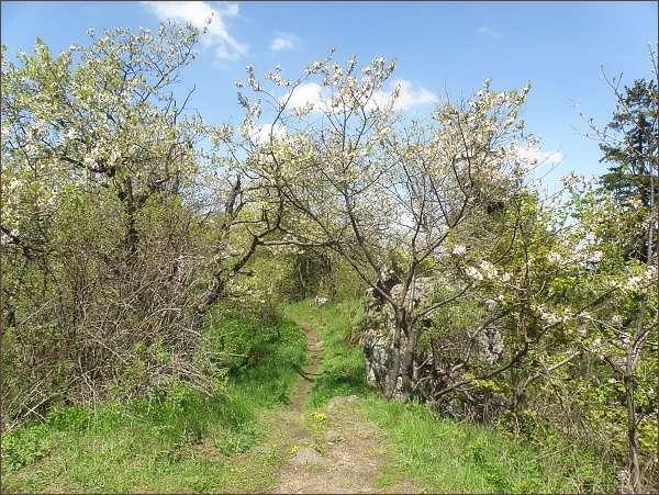 Kvetoucí třešně ptačí na Podhorním vrchu