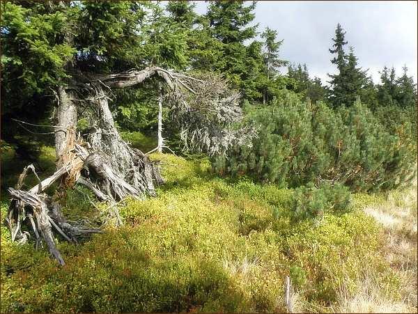 Horský les na Malém Sněžníku
