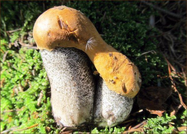 Siamská dvojčata (Křemenáč březový - Leccinum versipelle)