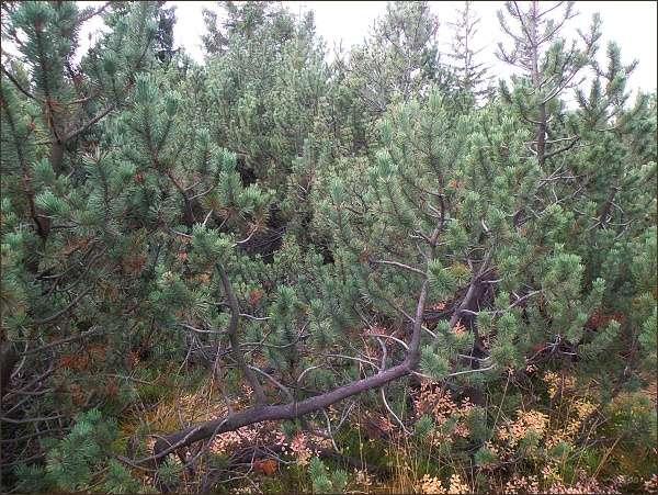 NPR Božídarské rašeliniště. Borovice rašelinná (Pinus x pseudopumilio)