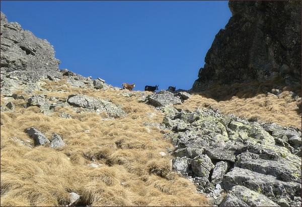 Veličtí kamzíci v Dolnej Granátovej štrbine