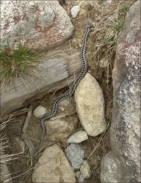 Zmije obecná - vretenica obyčajná - Vipera berus (Velická dolina 8. 4. 2014)