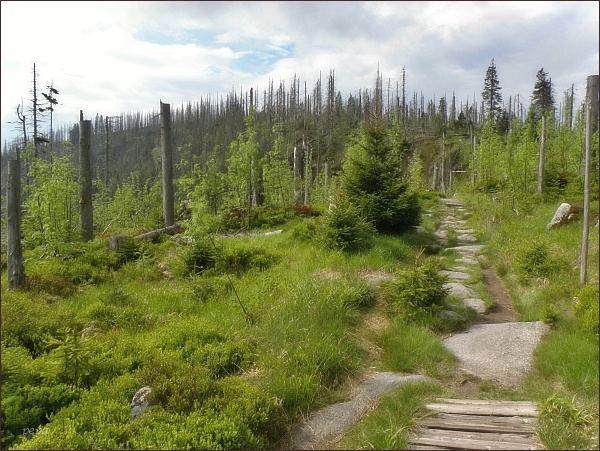 Přirozené zmlazení lesa na Plechém