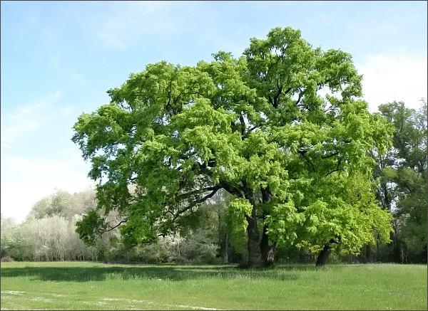 Ke krajinářské hodnotě ostrova přispívají staré solitérní duby