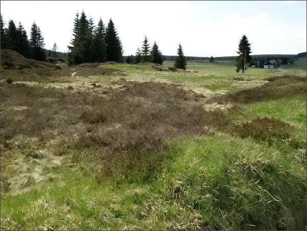 Kolonie vřesu na Přebuzském vřesovišti