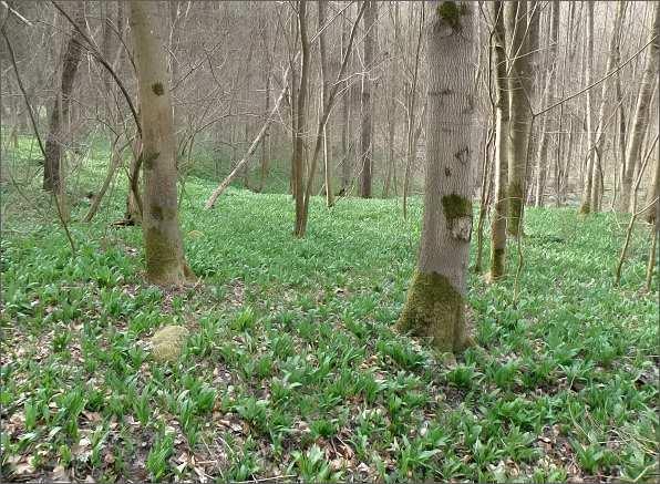 Les v Rakoveckém údolí podestlaný medvědím česnekem