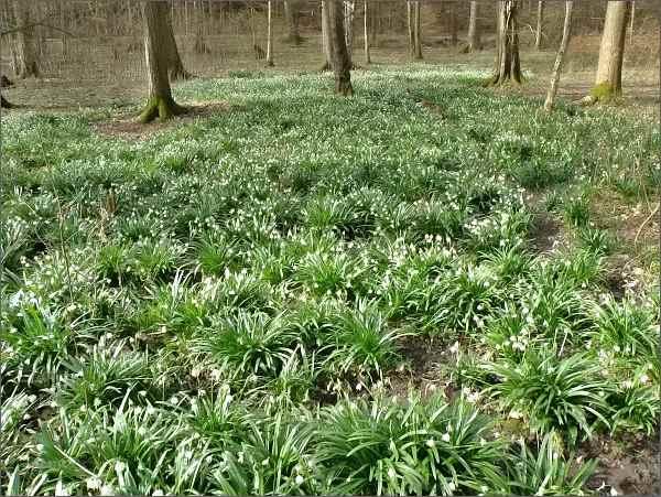Koberce bledulí jarních v Rakoveckém údolí