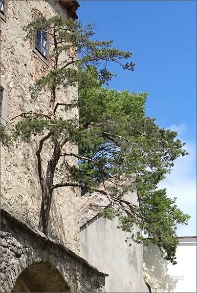 Buchlov. Borovice zarostlá v hradbách