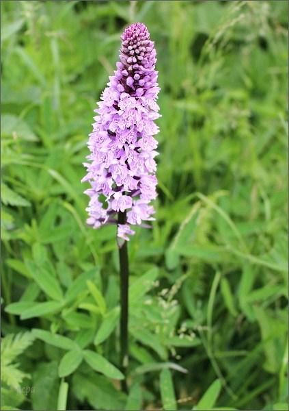 Orchidea u Tatranskej Polianky