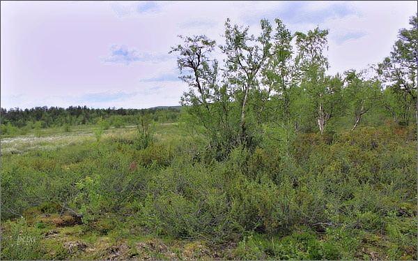 Lesotundra v severním Finsku