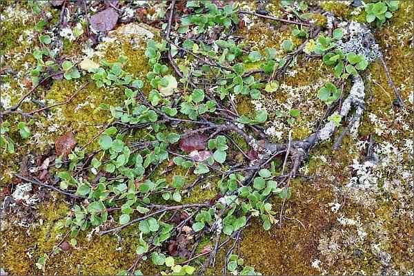 Bříza zakrslá (Betula nana)
