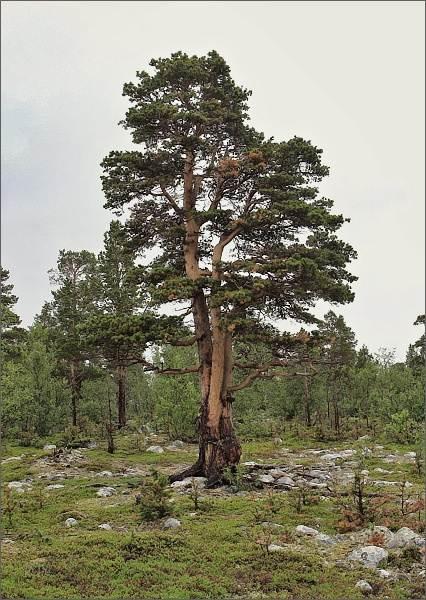 Letité borovice v Národním parku Stabbursdalen