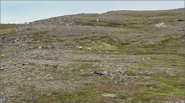 Ostrov Magerøya, stádo sobů
