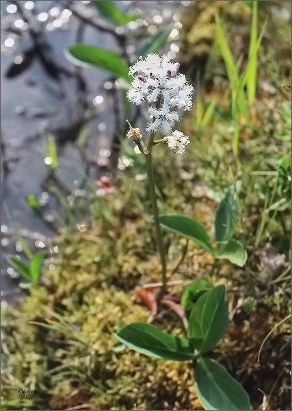 Národní park Rago. Vachta trojlistá (Menyanthes trifoliata)