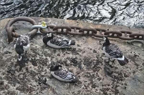 Bernešky bělolícé na stockholmském ostrově Skeppsholmen