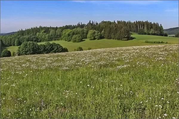 Kopretinová louka pod Javorovým kopcem