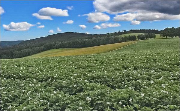 Na Vysočině se ještě pěstují brambory...