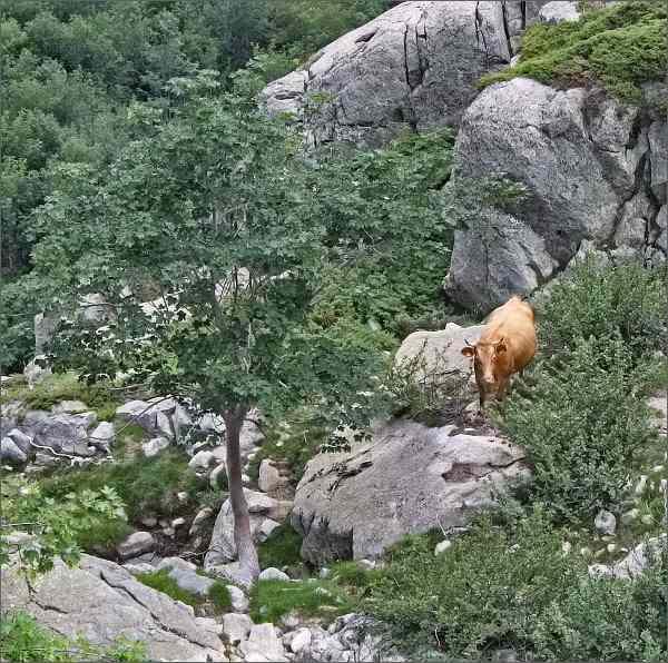 Krávy - tulačky v údolí Agnone