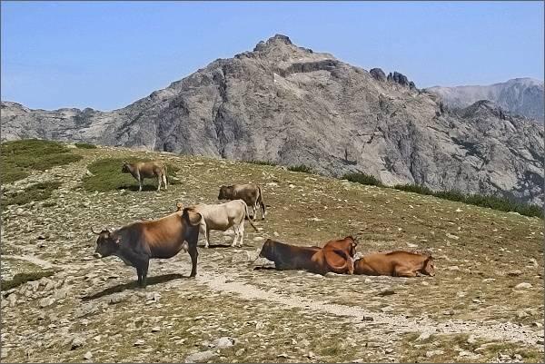 Volně se pasoucí krávy v sedle Punta Scarpiccia