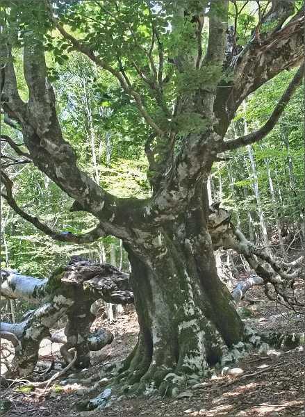 Les nad sedlemCol de Vizzavona je tvořen letitými buky