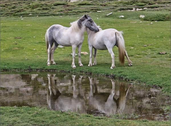 Polodivocí koně u Lac de Nino