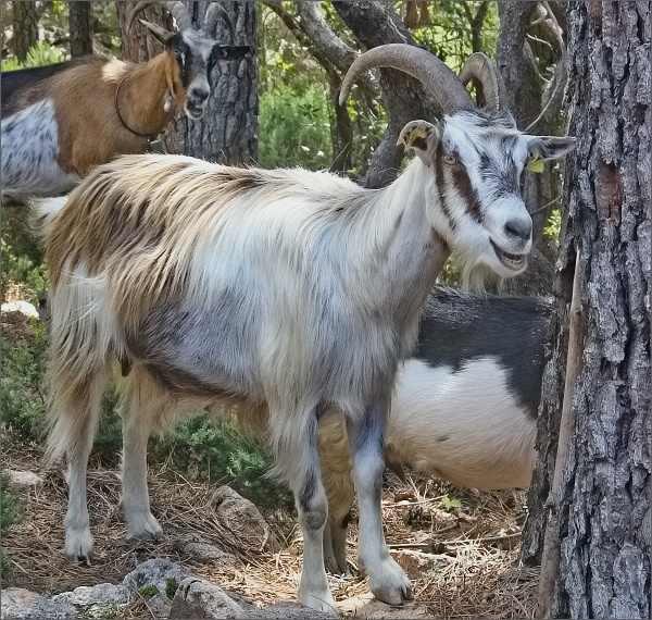 Pasoucí se kozyPasoucí se kozy