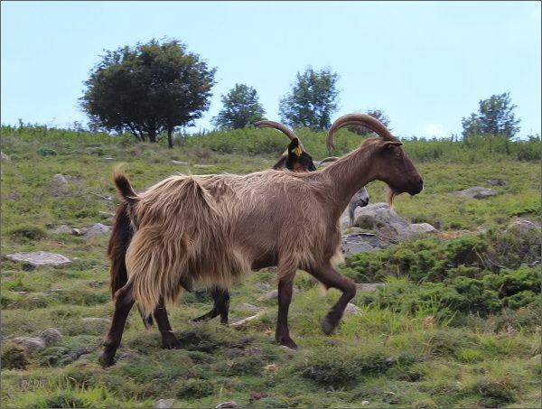 Kozy na pastvinách pod Monte Cintem