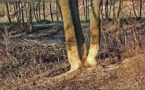 Svratka pod Štěpánovicemi. Tady to patří bobrům