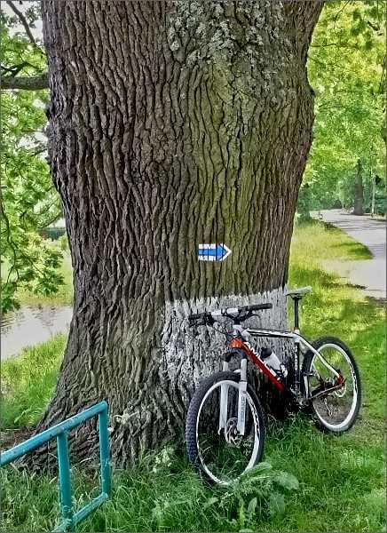 Staletý dub na hrázi Staňkovského rybníka