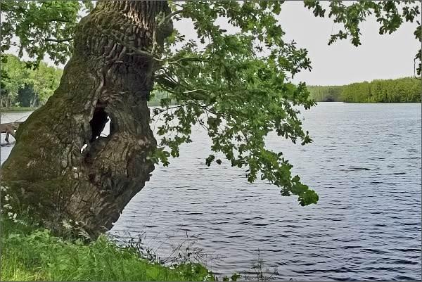 Staleté duby na hrázi Starého Kanclíře